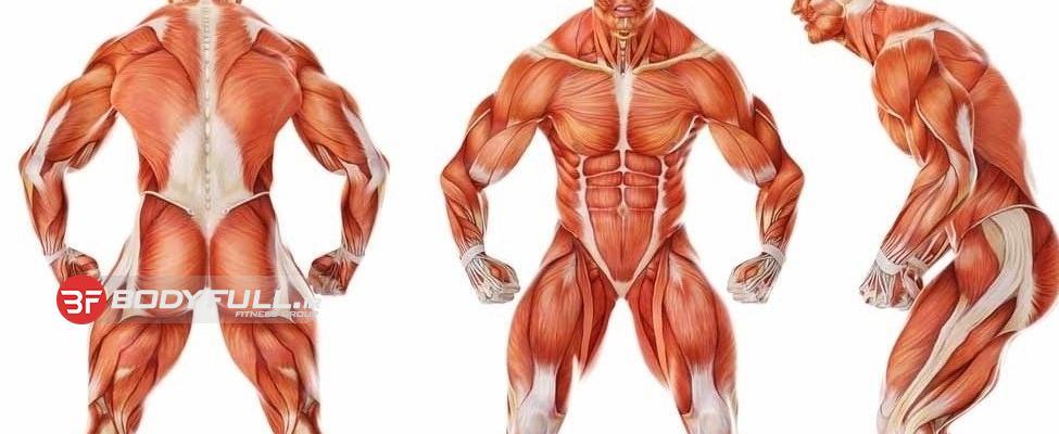 چه چیزی درباره عضلات بدن می دانید؟